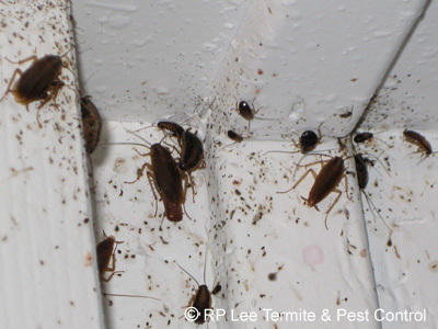engrossing roaches in kitchen cabinets