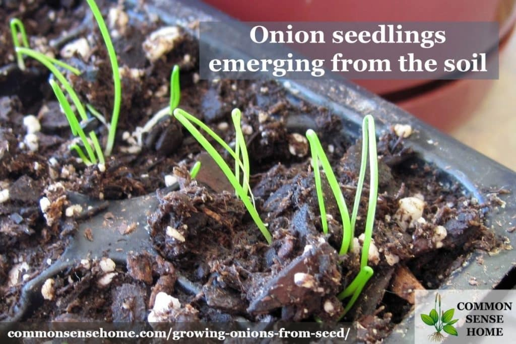 enjoyable green onions from seed