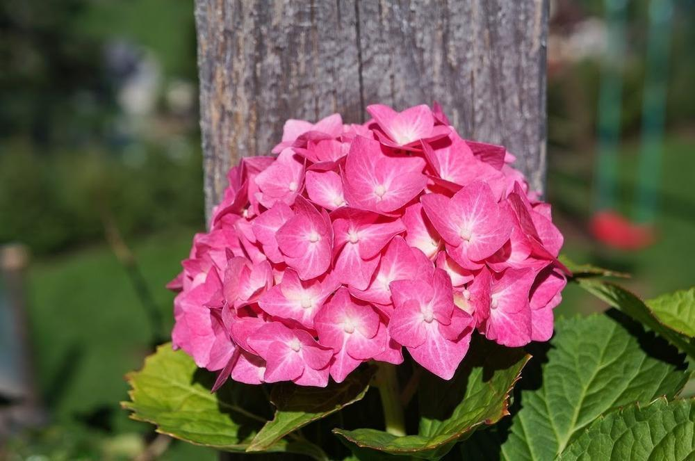 cheap and reviews merritts supreme hydrangea reviews