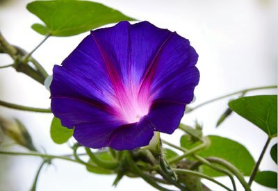 Exciting flowers that grow on vines