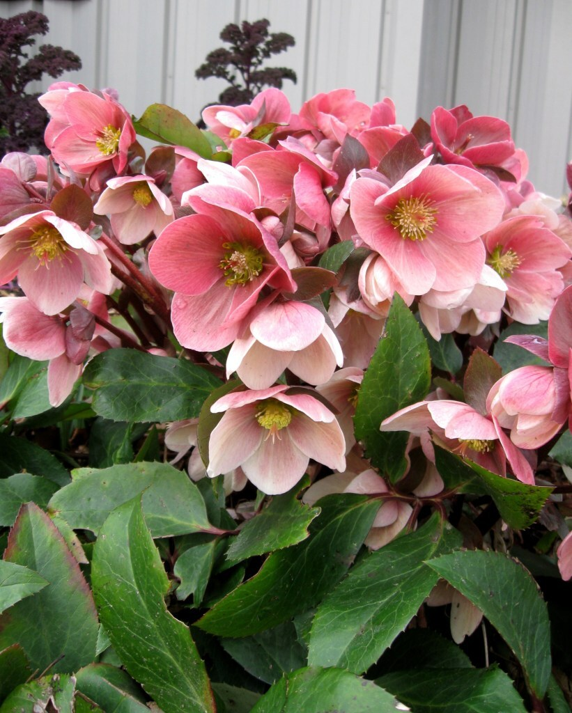gorgeus pink frost lenten rose care