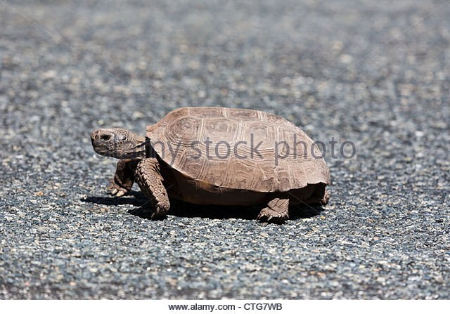 Mercilessly beautiful baby gopher tortoise for sale