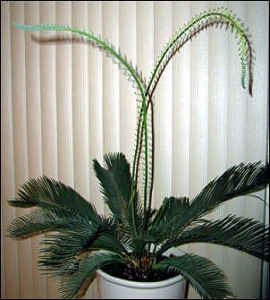 archaikomely sago palms trimming