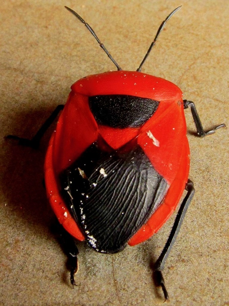 Fascinating black bug with red stripes